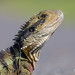 Eastern Water Dragon by R. Francis
