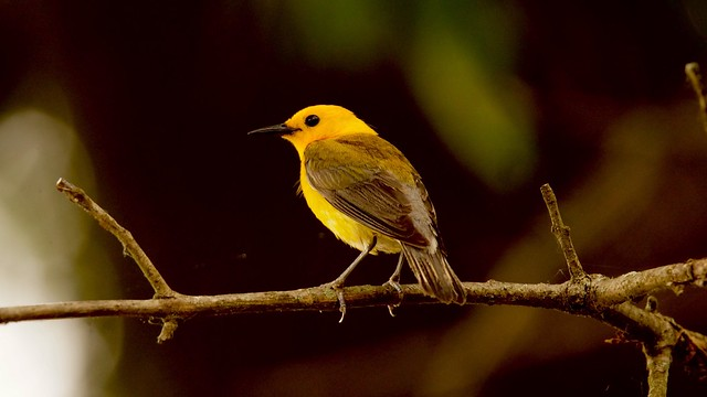 Prothonotary warbler - Heinz, Sony SLT-A57, Tamron SP 150-600mm F5-6.3 Di USD