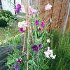 Came home to my very first sweet peas ever!