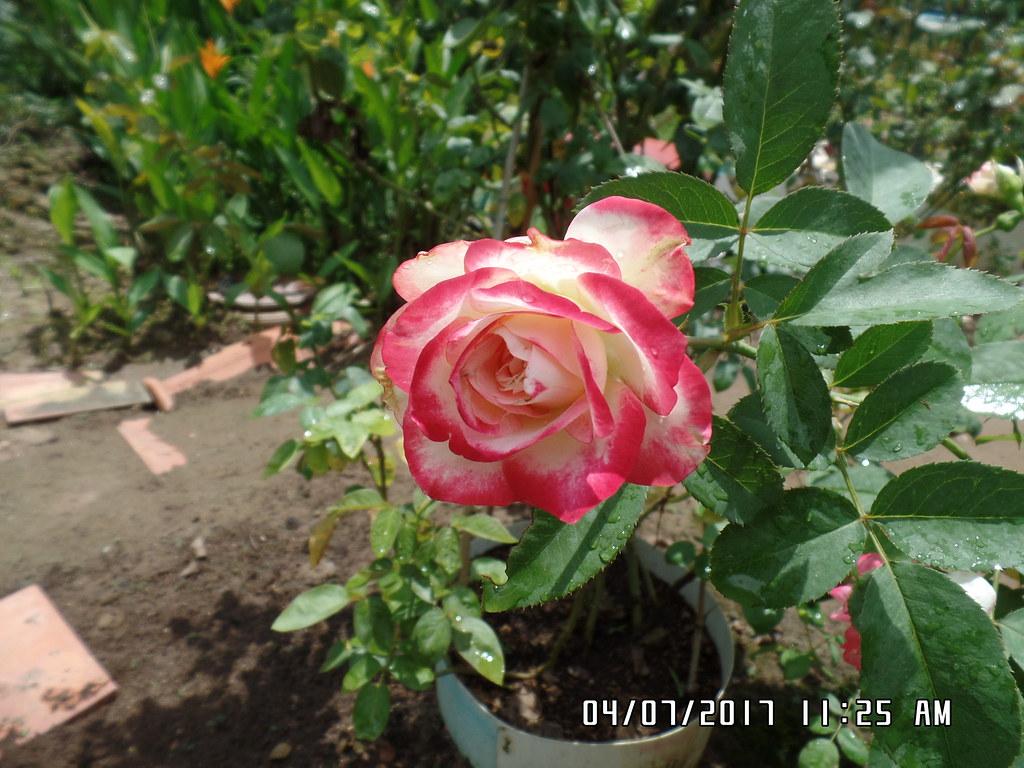 hong ngoai cherry parfait rose (7)