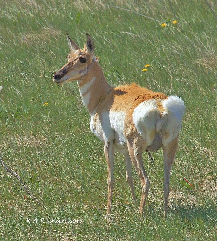 Pronghorn (Antilocapra americana) - 2