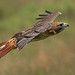 Red Tailed Hawk by Darryl Robertson