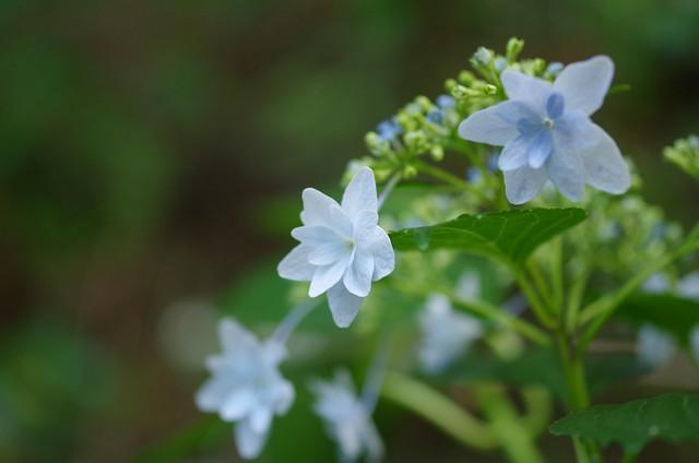 白い紫陽花 ~White Hydrangea~, Pentax K-30, smc PENTAX-D FA 50mm F2.8 Macro