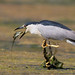 Night Heron with fish (X75_4240-1) by Eric SF