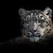 Snow leopard - CLK by Michel L'HUILLIER (Asterix_93)