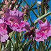 J20170706-0054—Chilopsis linearis ssp arcuata—RPBG—DxO