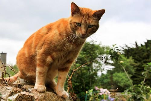 Île-de-Bréhat - cat on a wall