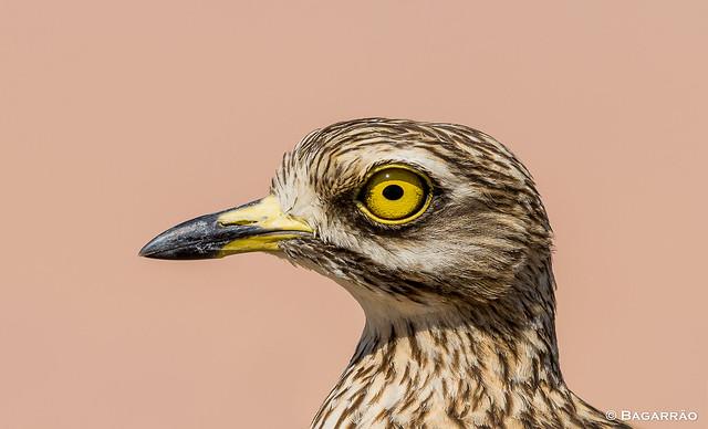 Alcaravão | Stone Curlew | Alcaraván común | Oedicnème criard (Burhinus oedicnemus)