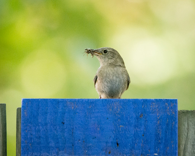 House Wren with a beak-full of bugs