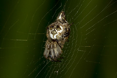 194/365  Cyclosa conica (garbage line spider) (Trashline Orbweaver)