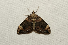 Dysstroma citrata (Dark Marbled Carpet Moth) - Hodges # 7182 - Everett, WA