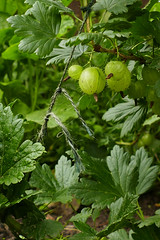 colour corrected gooseberries