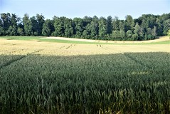 Wheat 24.07 (1)