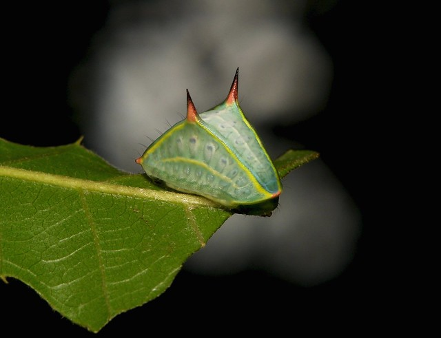 Slug Caterpillar Cup Moth, Sony DSC-R1