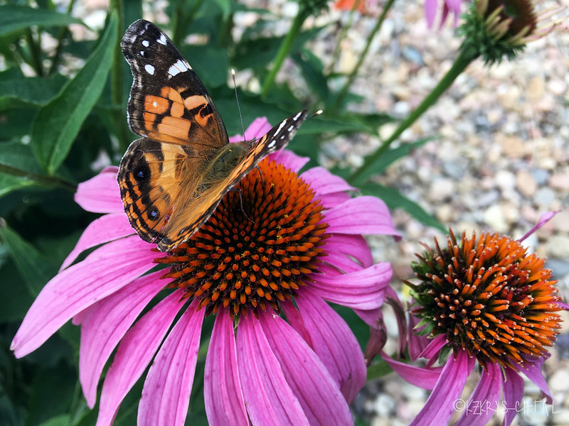 IMG_1311ButterflyOnConeflower