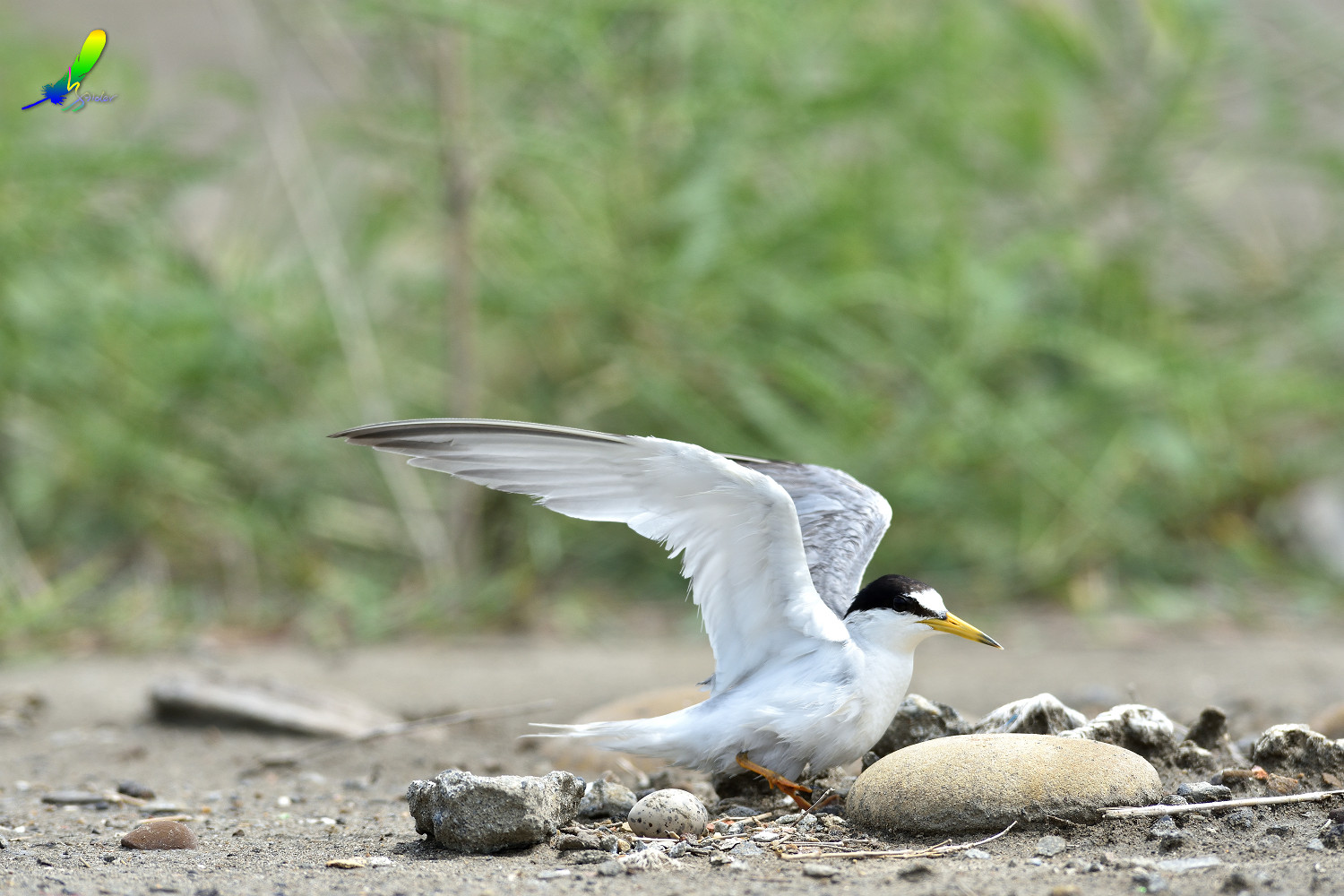 Little_Tern_6213