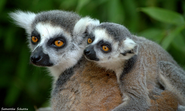 Ring-tailed lemurs, Apenheul, Nikon D3200, AF-S DX VR Nikkor 55-300mm 4.5-5.6G ED