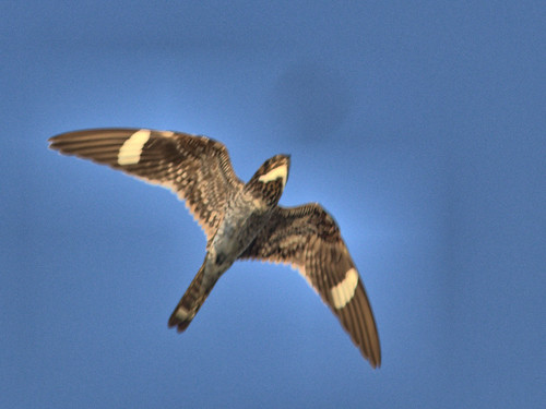 Common Nighthawk in flight 20170611