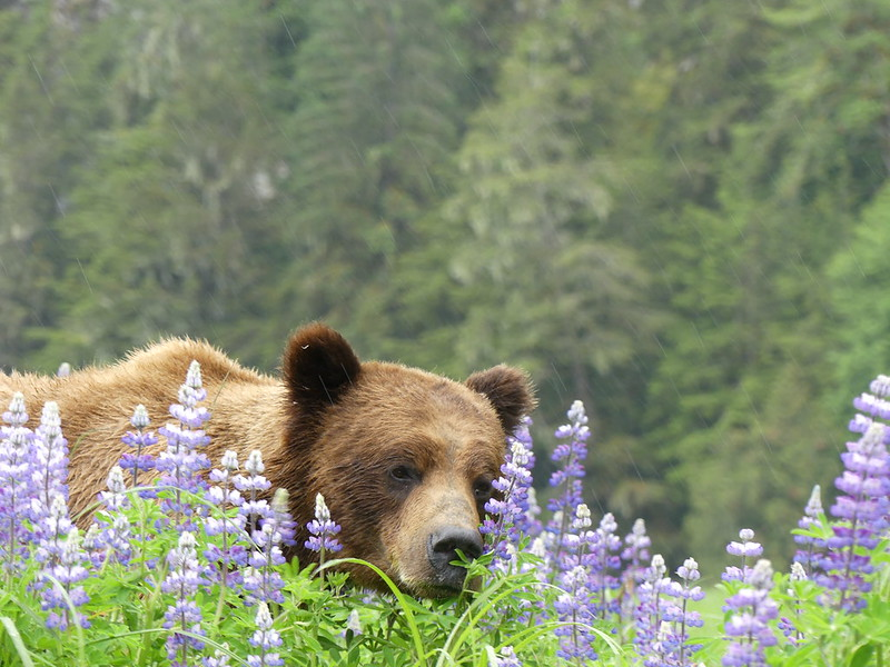 Bear and Lupines