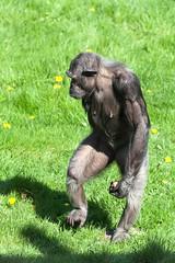 Chimpanzee Sallys Group #5