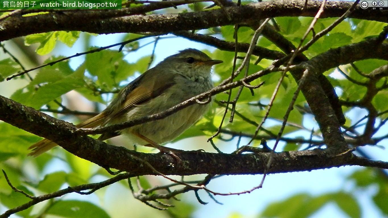 日本樹鶯 (Horornis diphone#Japanese Bush Warbler)