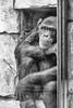 Sad monkey behind glas