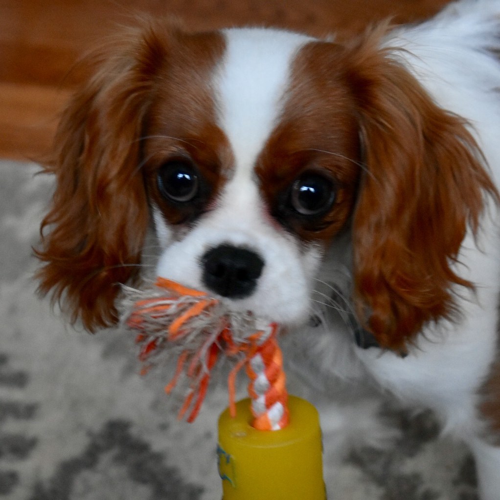 Cavalier king charles spaniel for sale in michigan