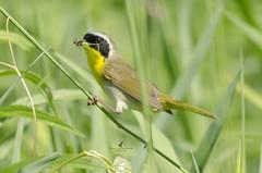 Paruline masqué (mâle) / Common yellowthroat (male)