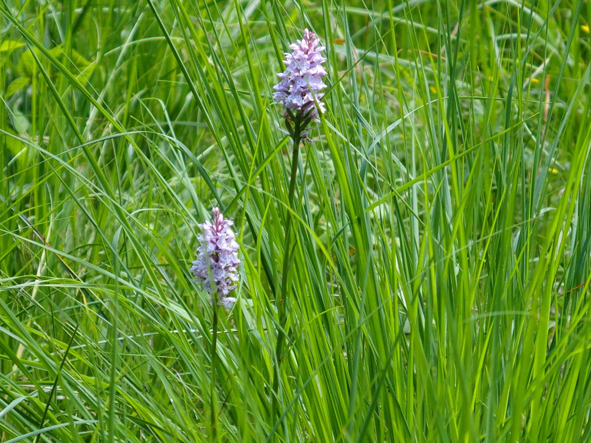 Orkide-kärret
