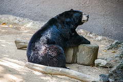 African Black Bear at the Los Angeles Zoo