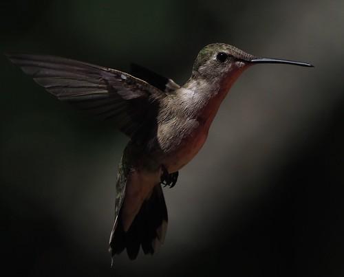 Female Black Chinned Hummingbird (Explored.)