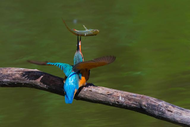 kingfisher, Nikon D7200, Sigma 150-600mm F5-6.3 DG OS HSM | S