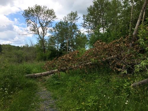 Beaver tree fall