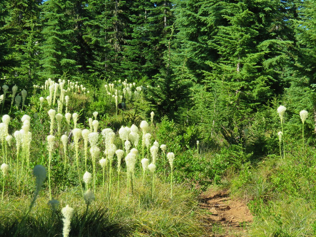 Beargrass along the Rho Ridge Trail