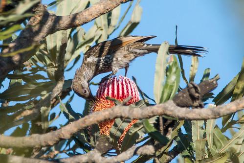 Western Wattlebird (Anthochaera lunulata) on Banksia