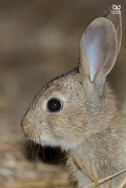 Coelho-bravo, European rabbit(Oryctolagus cuniculus)