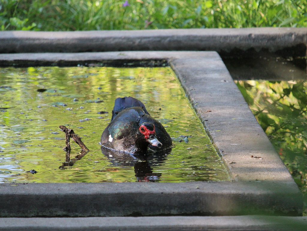Muscovy Duck Benston St Park 4-17