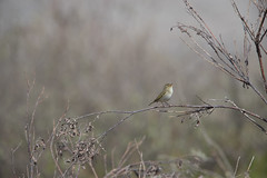 1DXB8130Arctic Warbler