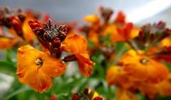 Fleurs-flores