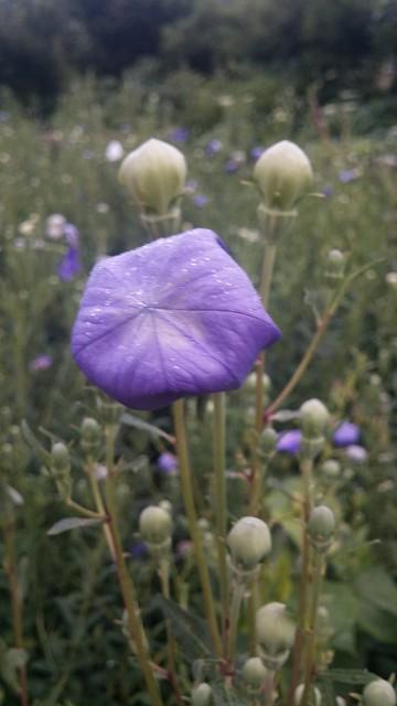 아침풍경 | 마당밭 도라지꽃밭