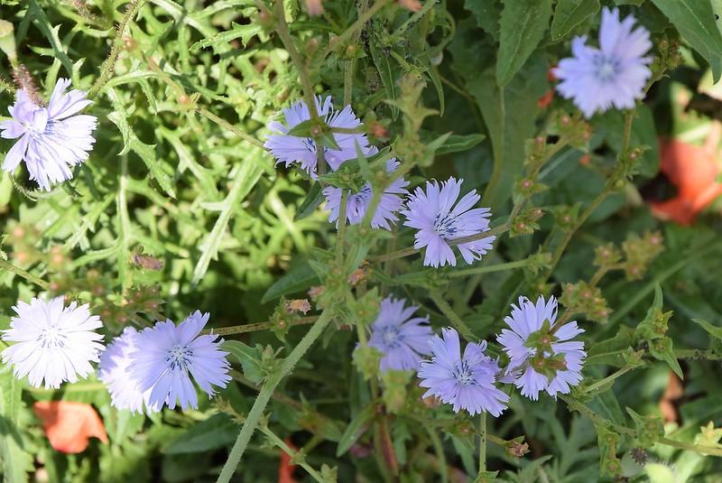 Cornflowers 02.06 (1)