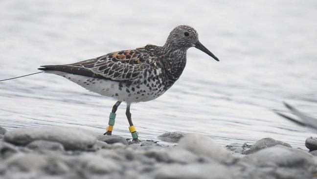 """Great Knot 7LLYL (""""Green"""", with tag ID 59 ) in Taiwan in May 2017. © Mr. Liu"""