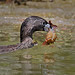 Pied-Billed Grebe brings food back to feed his babies. by Ho's Photog