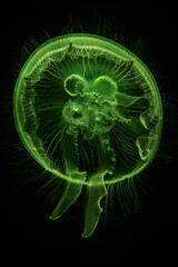 Moon Jelly In Green Light