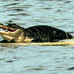 alligator-in-the-lake