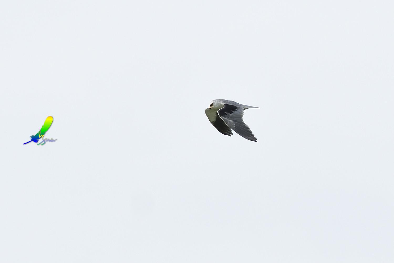 Black-winged_Kite_1737