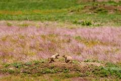 Prairie Pups At Play