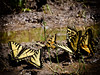 Puddling Tiger Swallowtails