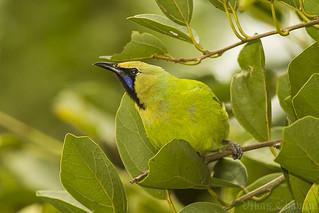 Jerdon's Leafbird.
