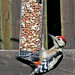Great spotted woodpecker , Whitehaven